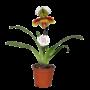 Paphiopedilum American Hybrid 1 branche