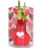 Amaryllis Waxz® Valentine with heart in sleeve