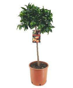 Kumquat op stam