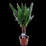 Yucca Ramifié