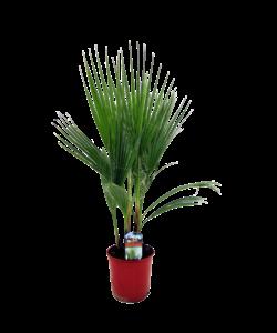 Robusta - Californie Fan Palm