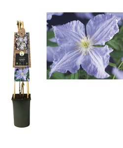 Kletterpflanzen - großblütig - blühend von Juli bis September