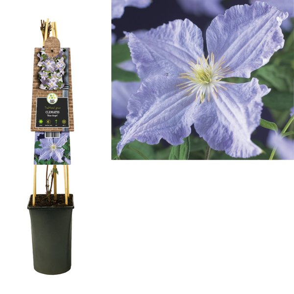 Clematis Climbing plants - large-flowered - flowering July-September