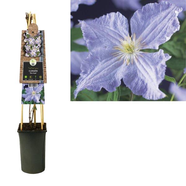 Clematis Kletterpflanzen - großblütig - blühend von Juli bis September
