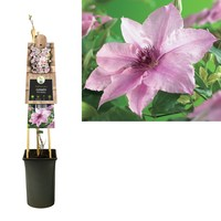 Clematis Climbing plants - large-flowered