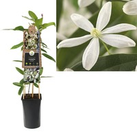 Clematis Klimplanten  - bladhoudend