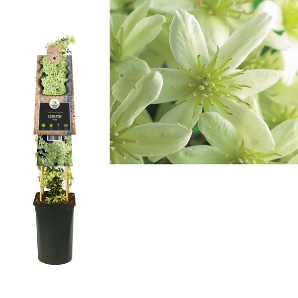 Clematis Climbing plants - evergreen
