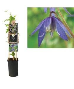Klimplanten  - kleinbloemig