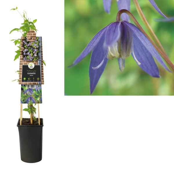 Clematis Klimplanten  - kleinbloemig