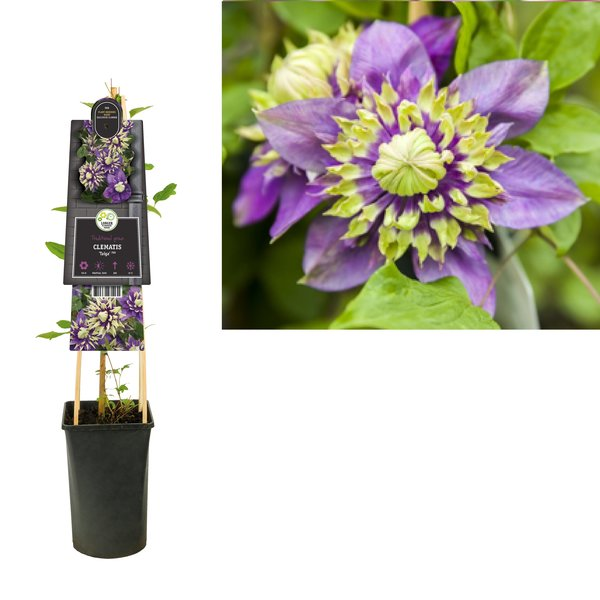 Clematis Climbing plants - small-flowered