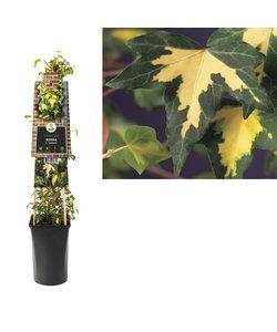 Plantes grimpantes - Lierre