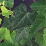 Hedera Helix - terrasplanten
