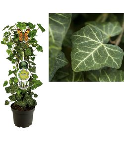 Helix - patio plants - English Ivy
