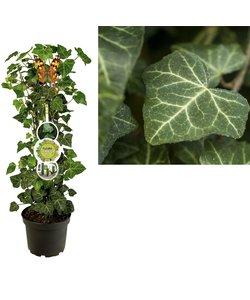 Helix - plantes de patio - Lierre