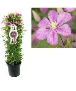 Plantes de patio - à grandes fleurs