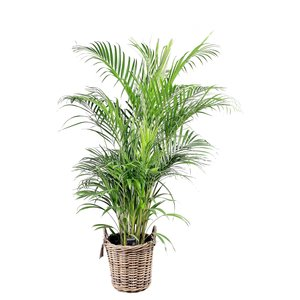Areca Palm Dypsis lutescens - basket