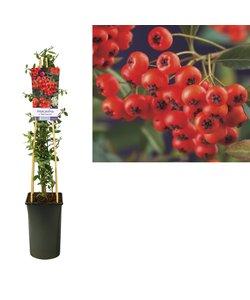 Kletterpflanzen - c. 'Rote Säule' - Blüte Mai-Juni
