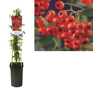 Pyracantha  Climbing plants - c. 'Red Column' - flowering May-June