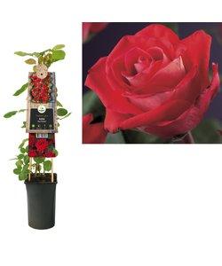 Plantes grimpantes - Rose
