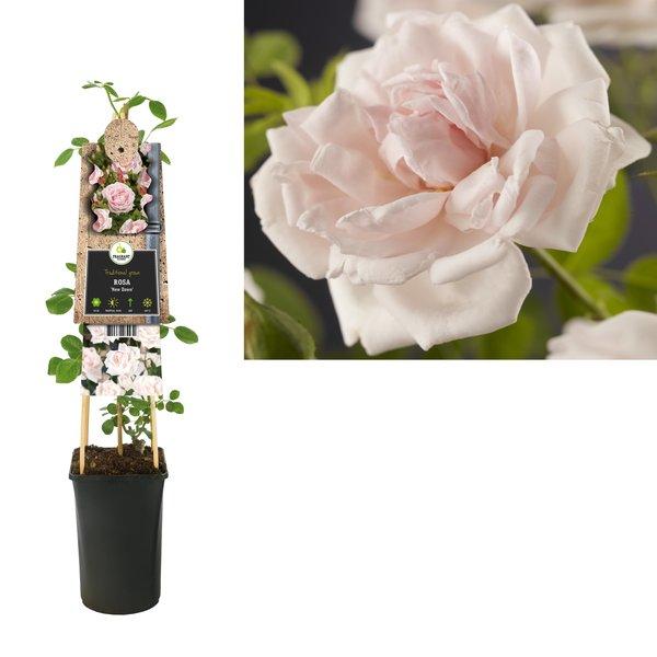 Rosa Klimplanten