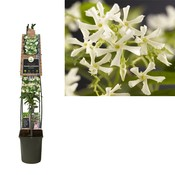 Trachelospermum Kletterpflanzen - Topf 23 cm