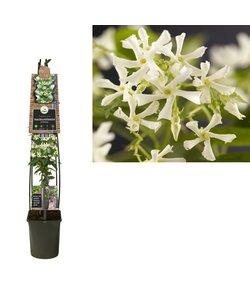Climbing Plants - Tuscan Jasmine, Star Jasmine