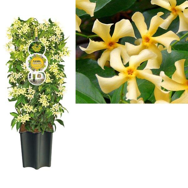 Trachelospermum Terrasplanten - Pot 19 cm