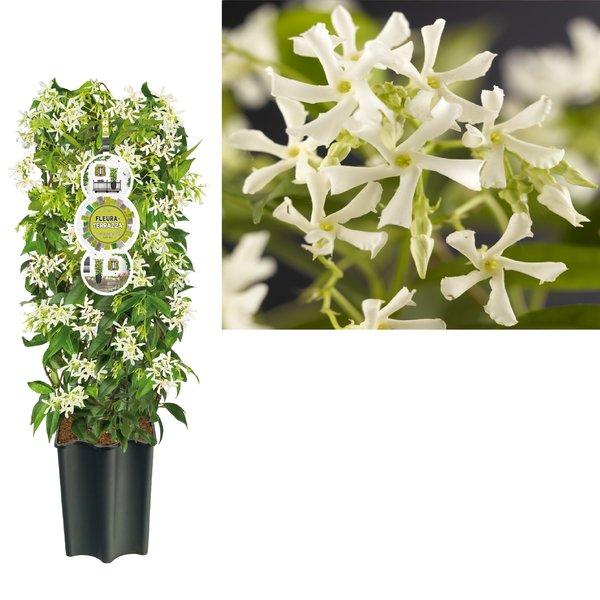 Trachelospermum Gartenpflanzen - Topf 19 cm