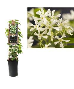 Klimplanten - Toscaanse jasmijn, sterjasmijn