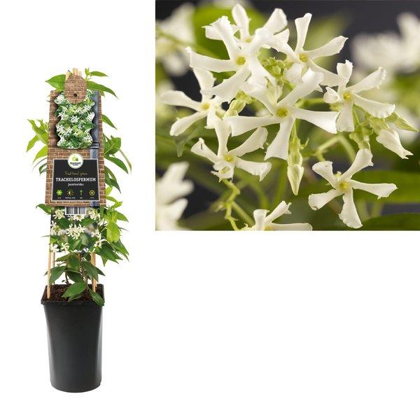 Trachelospermum Kletterpflanzen
