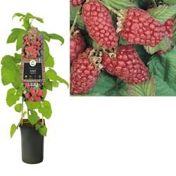 Rubus