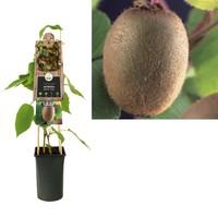 Actinidia Kleinfruit - Kiwi