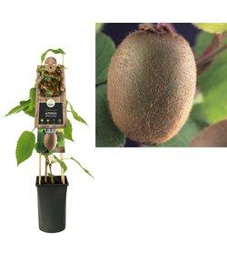 Kleinfruit - Kiwi