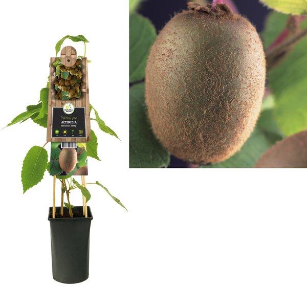 Actinidia Small fruit - Kiwi