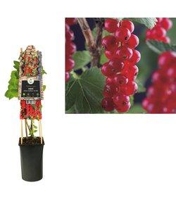 Rubrum - kleine Frucht - Beere - Stachelbeere