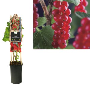 Ribes rubrum - small fruit - Berry - Gooseberry