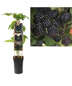 kleine Frucht - Brombeere