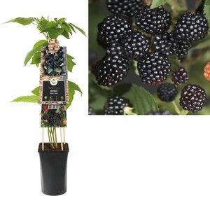 Rubus kleinfruit - Braam