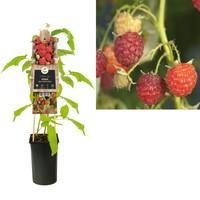 Rubus kleinfruit - Framboos