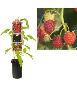 kleine Frucht - Himbeere