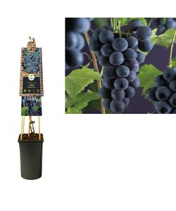 small fruit - Grape with stone