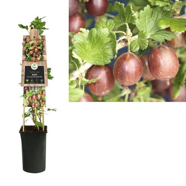 Ribes Rubrum - kleine Frucht - Beere - Stachelbeere