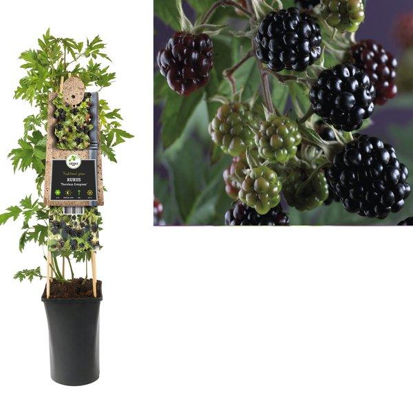 Rubus berry - Blackberry