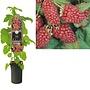 Rubus berry - Raspberry