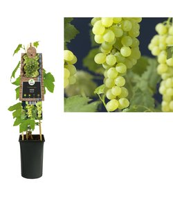 small fruit - vine, grapevine