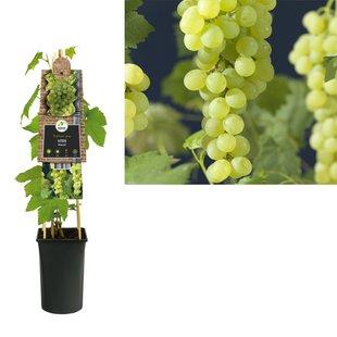small fruit - Seedless Grape