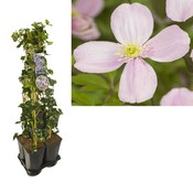 Hedera Privacy 5-pack klimplanten