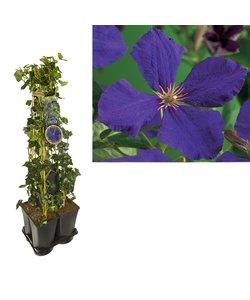 Privatsphäre 5er Pack Kletterpflanzen
