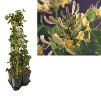 Hedera Privacy 5-pack climbing plants