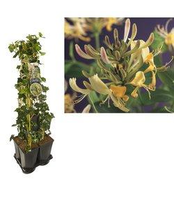 Plantes grimpantes Privacy pack de 5 - Lierre